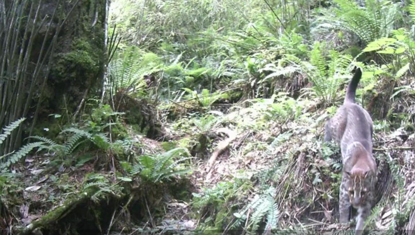 时隔两年 珍稀物种亚洲金猫再次现身云南高黎贡山