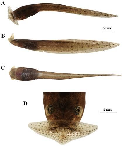 高黎贡山国家级自然保护区 怒江片又发现两栖新种