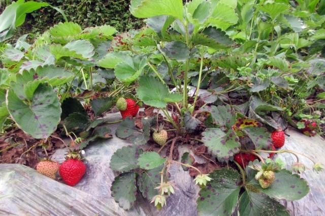 茨开镇发放29.4万株草莓苗惠及农户155户